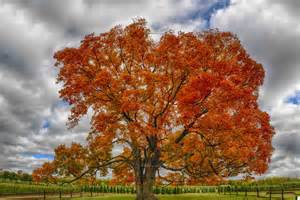 """The maple leaf was one of numerous emblems proposed to represent the society. Speaking in its favour, Jacques Viger, the first mayor of Montreal, described the maple as """"the king of our forest; ... the symbol of the Canadian people.""""  galleryhip.com"""