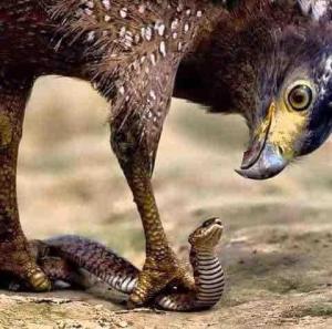 Eagle terrorrizes Snake